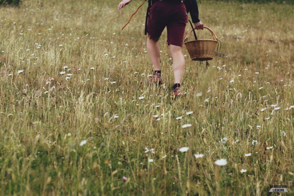 cueillette fleurs de sureau