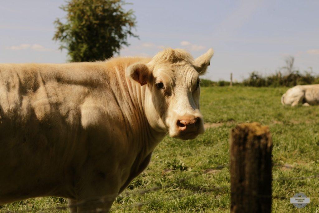 vache randonnée gouvy
